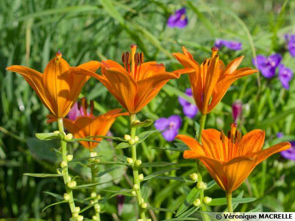 Lilium bulbiferum var. bulbiferum