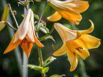 Lis trompette jaune, Lilium 'African Queen'