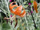 Lis tigré, Lilium lancifolium