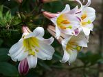 Lis royal, Lilium regale