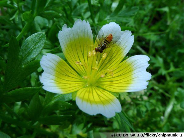 La limnanthe de Douglas ou oeuf au plat attire les auxiliaires du jardin comme la syrphe