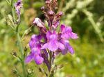 Linaire pourpre, Linaria purpurea