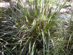 Creek mat-rush, Lomandra hystrix