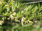 Chèvrefeuille à cupules, Lonicera pileata