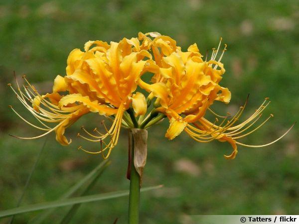 Lycoris jaune, Lis araignée jaune, Lycoris aurea