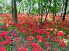 Lycoris rouge, Amaryllis du Japon, Lis araignée du Japon, Lycoris radiata