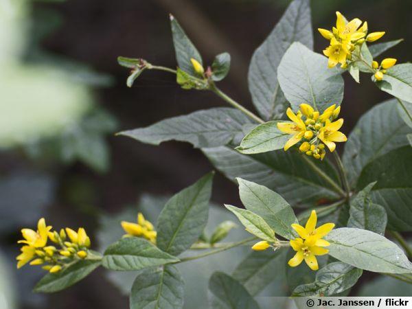 Lysimaque commune, Lysimachia vulgaris
