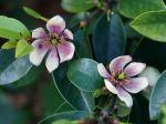 Arbuste banane, Magnolia figo