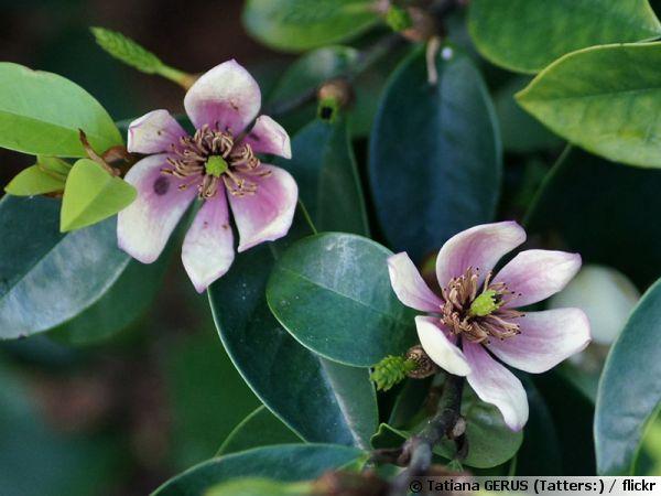 Arbuste Banane Magnolia Figo Planter Cultiver Multiplier