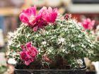 Opuntia souterrain à fleurs rouges, Tephrocactus subterranea ssp. pulcherrima