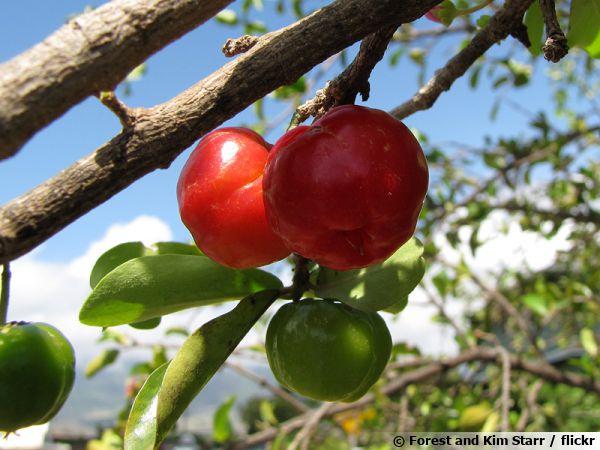 L'acérola est le fruit d'un arbuste (Malpighia emarginata) poussant dans les régions tropicales d'Amérique du Sud