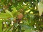 Sapotille, fruit du Sapotillier, Manilkara zapota