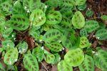 Marante, Dormeuse, Plante de prière,  Maranta leuconeura