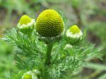 Matricaire odorante, Fausse camomille, Matricaria discoidea