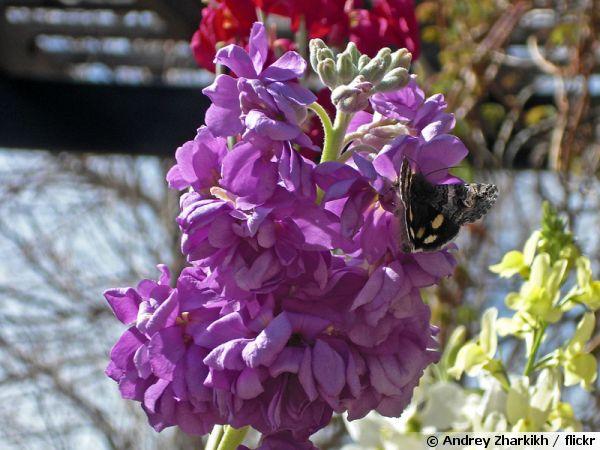 Violier girofl e des jardins girofl e d 39 t girofl e d for Jardin de fleurs a couper