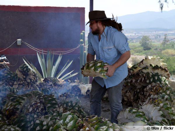 Récolte de l'agave pour la production de mezcal