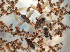 Piégeage de la mouche du brou de noix