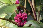 Bananier rose, Bananier à fleurs roses, Musa vetulina
