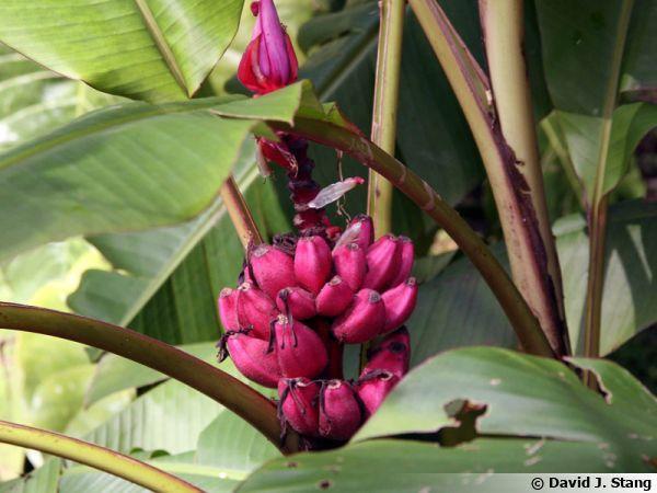 Bananier rose, Bananier à fleurs roses, Musa vetulina : cultiver