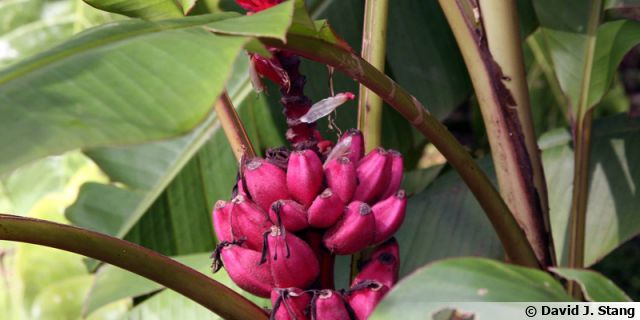 "Bananier rose, Bananier à fleurs roses, <span style=""font-style:italic;"">Musa vetulina</span>"