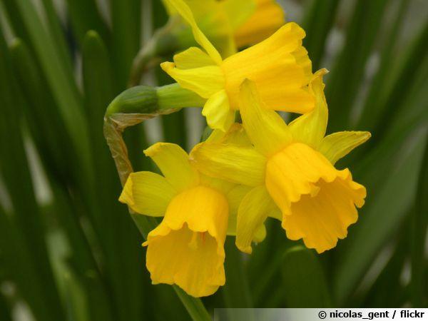 Narcissus jonquilla, la véritable jonquille