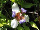 Iris marcheur, Iris d'appartement, Plante des apôtres marica, Neomaricha northiana