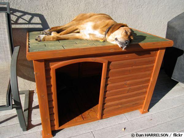 Un chien installé sur le toit de sa niche !