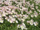 Onagre rose, Oenothère rose, Oenothe rose, Oenothera speciosa