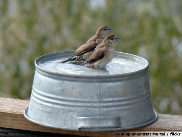 Des oiseaux profitant d'une bassine d'eau pour un petit nettoyage