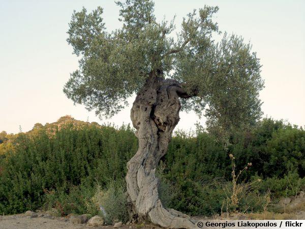 L'olivier, une arbre emblématique des régions rocailleuses méditerranéennes