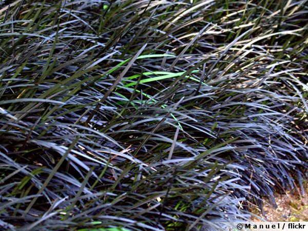 Ophiopogon noir, Barbe de serpent noire, Barbe de dragon noire, Ophiopogon planiscapus 'Nigrescens'
