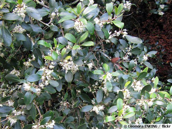 Osmanthe de burkwood osmanthus x burkwoodii planter - Osmanthus siepe ...