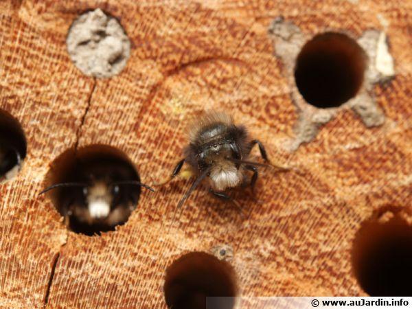 Osmia cornuta ou osmie commune, une abeille sauvage solitaire