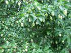 Ostrya à feuilles de charme, Charme-houblon, Ostrya carpinifolia