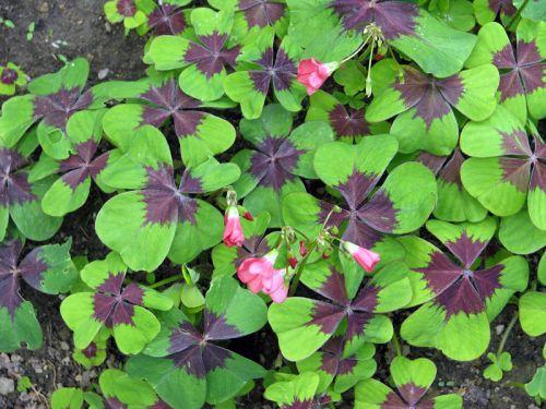 faux tr fle quatre feuilles oxalis deppei planter cultiver. Black Bedroom Furniture Sets. Home Design Ideas