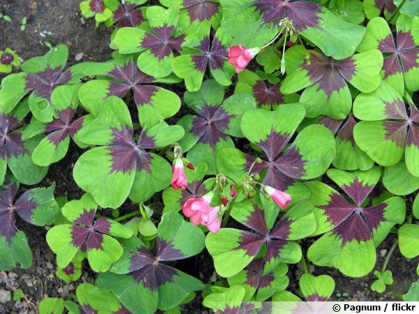 Faux trèfle à quatre feuilles, Oxalis deppei