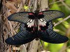 Reproduction de papillons dans la serre