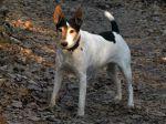 Le Parson Russell Terrier, un chien sportif