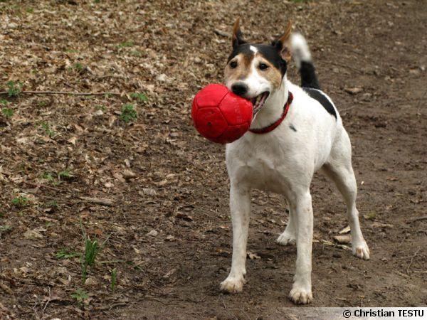 Un Parson Russel Terrier jouant avec son maître