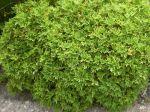 Géranium citronnelle, Pélargonium citron, Pelargoniumcitronellum