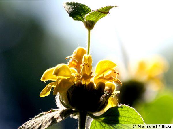 Phlomis arbustif, Sauge de Jérusalem arbustive, Phlomis fructicosa
