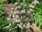 Sauge de Jérusalem à fleurs roses, Phlomis tubéreux, Phlomis tuberosa