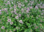 Crucianelle, Lilas de terre, Phuopsis stylosa