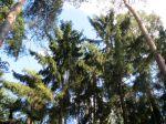 Épicéa commun, Épicéa du nord, Sapinette, Épinette de Norvège, Picea abies