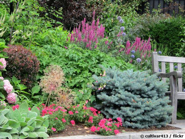 Picea pungens 'Montgomery'attire les gros-becs et les mésanges