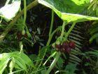 Podophylle de Chine, Pomme de mai de Chine, Podophyllum pleianthum