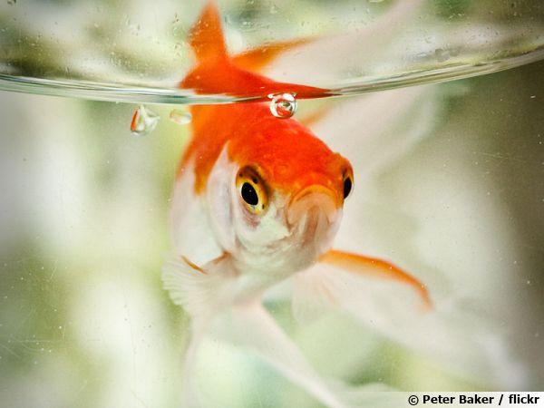 """Résultat de recherche d'images pour """"poisson rouge"""""""