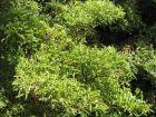 Aralia de Chine, Aralia Ming, Polyscias fruticosa