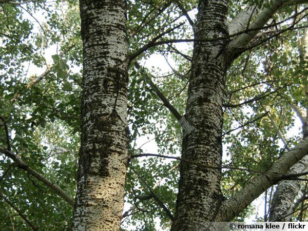 Peuplier blanc, Blanc de Hollande, Franc picard, Populus alba