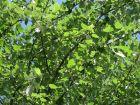Peuplier grisard, Blanc de Hollande, Peuplier picard,  Populus canescens